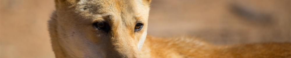 Dingo API